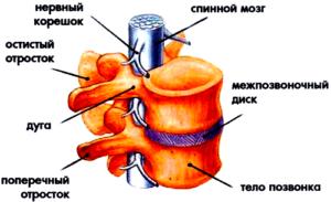 Рисунок показывает отдел позвонков из шейного отдела позвоночника